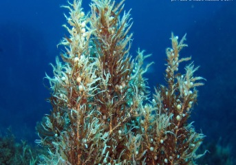 common sargasso-sargassum