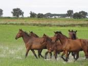 equus_caballus